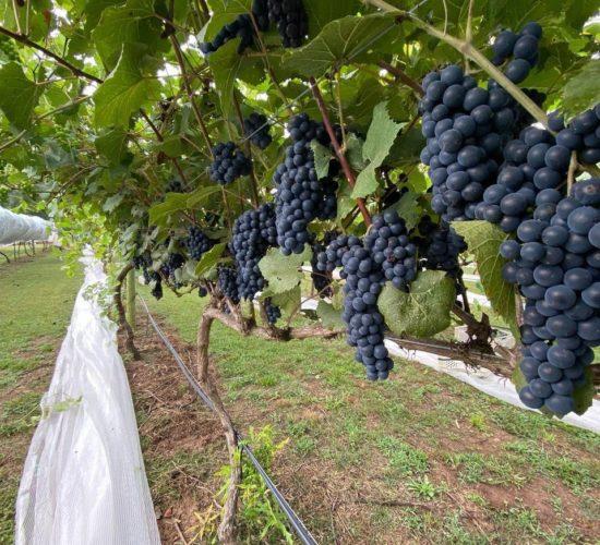 Cloudland Vineyards