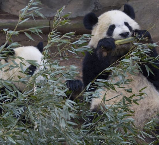 Zoo panda