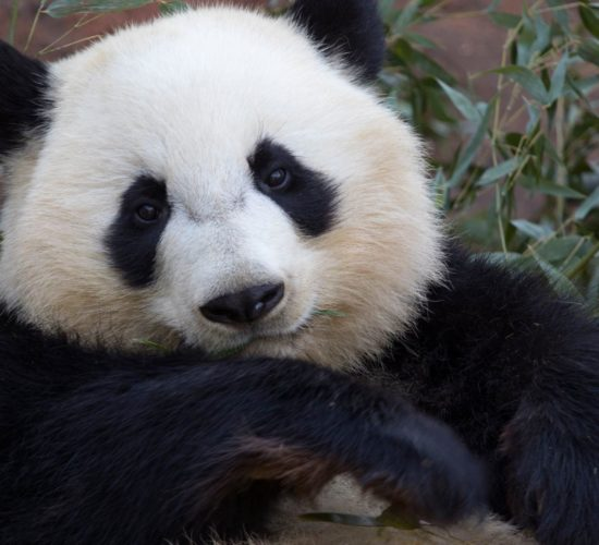Zoo panda 2