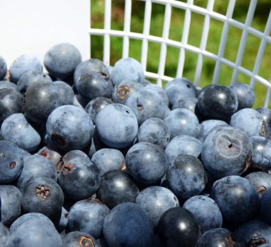 fleemans u pick blueberries
